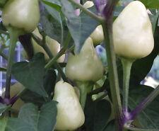 Very Hot Firecracker Chilli Peppers - 10 Seeds