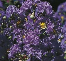 Purple Crape Myrtle crepe tree shrub seeds - 60+ - Lagerstroemia - combine ship