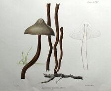 Agáricus Pudens Hongo, Hussey antigüedad ORIGINAL Impresión de hongos seta 1847