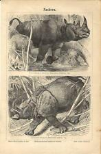 Stampa antica RINOCERONTE AFRICANO e INDIANO Rhinoceros 1890 Old antique print