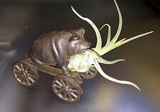 "Iron Pig on Wagon with Air Plant 'Large Caput Medusae"" Gift"