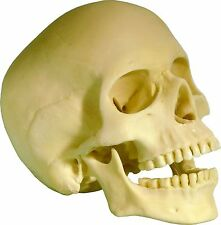 Life Size Human Skull Replica articulating removable Mandible jaw #3093 from USA