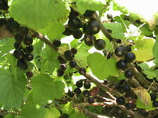 50 Black Currant Seeds TASTY FOR JELLY & LEAVES DRIED 2 MAKE TEA