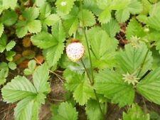 Wald-Erdbeere (Weiß) 30 Samen auch Monatserdbeere genannt (Rarität)