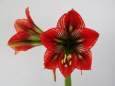 Original Hippeastrum cv.  ''Devil Smile' - 1 of  Amaryllis bulb