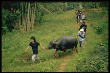 446027 Escaped Waterbuffalo Being Taken Back For Slaughter A4 Photo Print