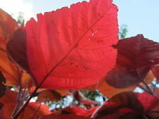 Florida Variegated Acalypha Wilkesiana Copperleaf Copper Tropical Flower Plant