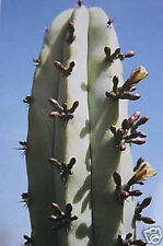 Myrtillocactus geometrizans, cacti cactus seed 20 SEEDS