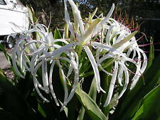 Crinum Lily, Asiaticum (species), large, near blooming size bulb -  NEW