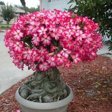 50PCS Rare Pink Adenium Obesum Desert Rose Seeds Flower Bonsai Tree Plant Decor