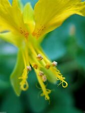Canary Creeper Nasturtium, Canary Bird Vine (10 SEEDS) Exotic Vine - Perennial