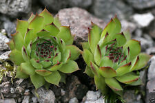 100 Sempervivum Tectorum Seeds Aka Hens and Chickens (100 Seeds) Rhs Award .