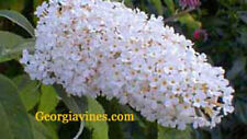 Buddleia davidii White Profusion 20 seeds