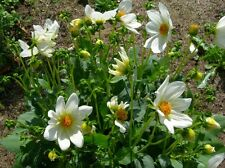 Graines de DAHLIA NAIN à fleurs simples vivace