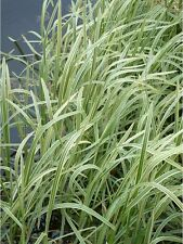 Glyceria maxima variegata (Variegated water grass) bare root/rooted cutting.
