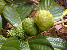 Rare seeds » Strong back medicinal herb or MORINDA ROYOC -aphrodisiac - 5 seeds