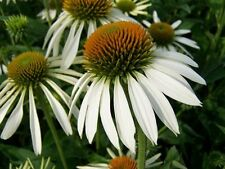 "50+ HEIRLOOM FLOWER SEEDS - CONEFLOWER ""WHITE SWAN"" NON-GMO PERENNIAL WILDFLOWER"