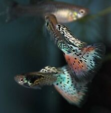 3 Young Adult Pairs Nebula Steel Guppies! FREE SHIPPING!