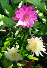 Two Pcs Orchid Cactus Epiphyllum Oxypetalum, One Pink and One White