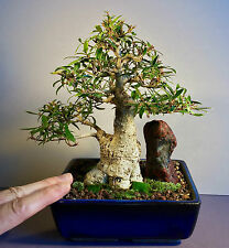 WOW! BEAUTIFULLY STYLED WILLOW LEAF FIG SHOHIN BONSAI W/ AMAZING FIGURAL SUISEKI