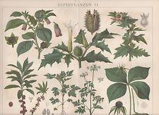 Giftpflanzen Tollkirsche Stechapfel LITHOGRAPHIE von 1884 Einbeere Bilsenkraut