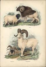1835 Landseer Antique Print Persian, Guinea, Many Horned & Rocky Mountain Sheep
