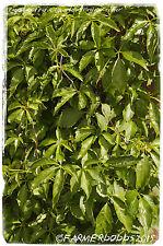 Parthenocissus quinquefolia 'Virginia Creeper' [Prov: USA] 15 Seeds!