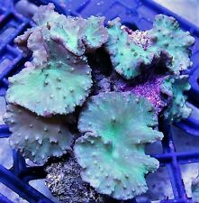 GREEN LANTERN CABBAGE LEATHER FRAG LIVE CORAL REEF ROCK USA LPS SPS SALTWATER