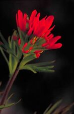 Castilleja coccinea | Scarlet Indian Paintbrush | 100_Seeds FREE SHIPPING TO US