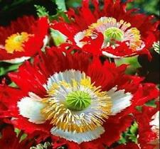 Danish Flag Poppy 250 Seeds Beautiful Flowers for Your Garden