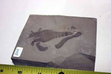 B.J.F. Eurypterus remipes   (Sea Scorpion) from New York State, USA -  No 55