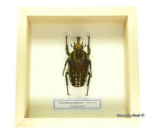 REAL MOUNTED FRAMED BEETLE - Chelorrhina polyphemus, male - GREEN AFRICAN BEETLE