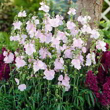 NEW: SENSUOUSLY SILKY SIDALCEA MIXTURE (PRAIRIE MALLOW) MIX  SEED