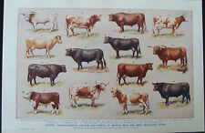 Old Print Cattle Aberdeen Hereford Longhorn