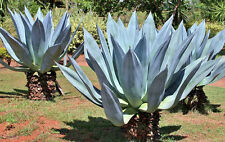AGAVE AMERICANA, rare succulent century plant seed exotic maguey aloe  -15 SEEDS