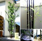 schwarzer Bambus Samen witzige Geschenkidee für den Valentinstag Geburtstag Deko