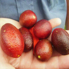 20× Ice Pink Finger Fruit Lime Seeds Rare Plant Seeds Garden Accessory