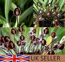 FRESH,15 PC COLORE NERO MONKEY FACE Orchid SEEDS * UK Venditore *