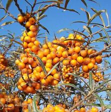 Hippophae Rhamnoides - 50 seeds - Common Sea Buckthorn