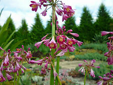 Bulbs NATIVE - Calostemma purpureum - deep pink flowers with yellow centre