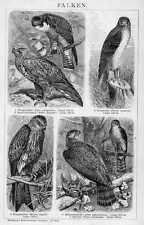 Falchi wanderfalke falconeria chiave in legno di 1898 MILAN storpi Sperber