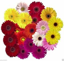 Gerbera Daisy ( 30 Seeds ) Single Flowered Hybrids Mix all colors of the rainbow