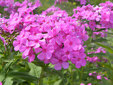 Perennial Phlox Seeds ★ Pink ★Winter Hardy Perennial ★ theseedhouse ★ 20 + Seeds