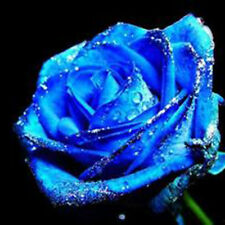 50Pcs/Pack Blue Blooming Midnight Rose Bush Flower Stratisfied Seeds Garden