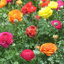 1 pack 20 Seeds Ranunculus Asiaticus Flower Seed Persian Buttercup Seed WB