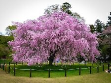 20 Pink Weeping Cherry Tree Seeds Flowering Ornamental Home And Garden