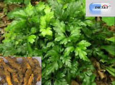 DR T&T Huang Lian Rhizoma Coptidis 100g dry herb Clears Heat and Dries Dampness