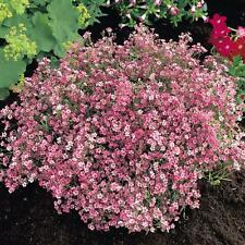Creeping Baby's Breath, Gypsophila Repenes Seeds -