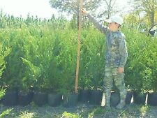 10  Leyland Cypress Trees  2  1/2  Feet Tall! Evergreen-* FREE Shipping!