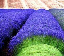 Lavender Munstead 50 seeds Lavandula Angustifolia Munstead  * Fragrant  D73